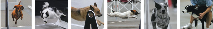 Thunder Paws flyball dogs